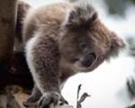 koala_02061054
